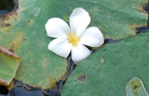 White flower on lily pads on water